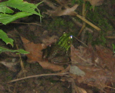 bullfrog along Pennsylvania stream