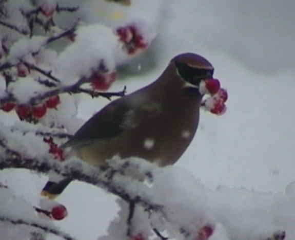 bird eating red berry in snowy scene