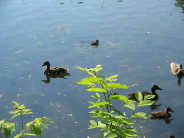 Mallard duck hens and one chick in pond